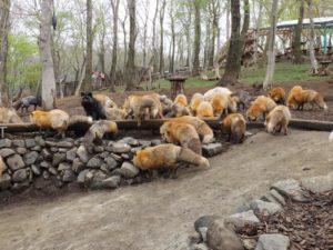 villaggio volpi Giappone