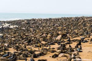 foche namibia