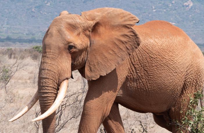 safari elefante