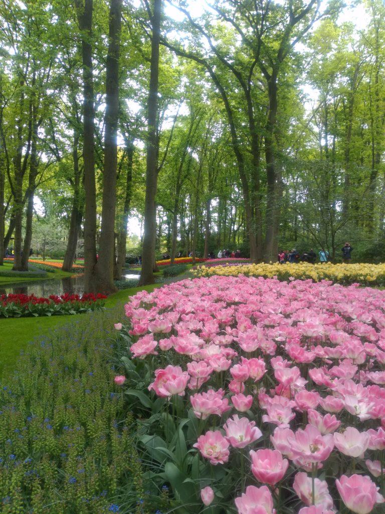 lisse tulipani